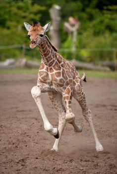 Au galop little girafe !!