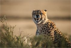 Angry Cheetah Photo by Henning de Beer — National Geographic Your Shot
