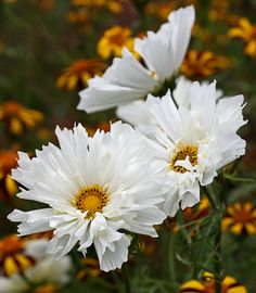 Cosmos 'Snow Puff' - Frilly double white blooms that perform all summer long and then reseeds...perfect. Height 3'