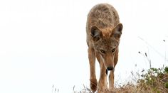 Abandon Hope: Coyotes Now Squatting In New York City's Vacant Buildings