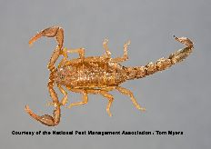 The key to preventing scorpions is to eliminate harborage sites around the property including woodpiles, trash and debris.