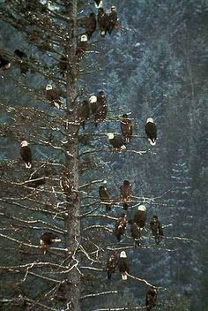 Eagles in Alaska harmoniously perched in a tree. Majestic. Previous Alaska Outdoor Journal's Photo of the Day.