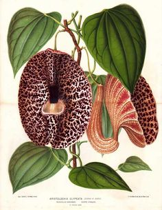 Aristolochiaceae - Aristolochia clypeata From: l'Illustration horticole. Revue mensuelle des serres et des jardins by Éduard André (editor) and published by Jean Jules Linden.