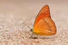 Orange Albatross (Appias nero figulina) by Sunny, npss.org.sg: All orange! #Butterfly #Orange_Albatross
