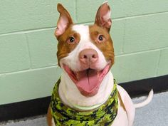 TO BE DESTROYED 10/17/14 Manhattan Center ** SENIOR ALERT **   My name is SHILO. My Animal ID # is A1016391. I am a neutered male white and brown pit bull mix. The shelter thinks I am about 8 YEARS old.  I came in the shelter as a OWNER SUR on 10/04/2014 from NY 11040, owner surrender reason stated was MOVE2PRIVA.