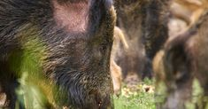 Feral pigs are ruining ecosystems across 35 states and hunting is making it worse Feral Pig, Black Bear, Science And Nature, Hunting, Popular, Agriculture, Effort, Pilot, Earth