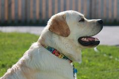 Project Ideas, Art Projects, Labrador Retriever, Profile, Yellow, Dogs, Animals, Beautiful, Art Designs