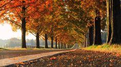 【日本紅葉の名所100選】メタセコイア並木(滋賀県) ( Autumn leaves, 단풍, les feuilles d'automne, ...