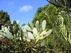Généralement classée parmi les fruits exotiques, la figue de Barbarie pousse abondamment à l'état sauvage dans ce beau pays.   http://parapharmacie-en-ligne.blogspot.co.at/2013/08/le-bien-etre-absolu-avec-viveo-la.html