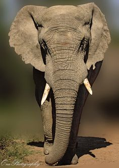Elephant Bull by Onephotography Photographic Safaris)