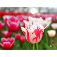 pray for kumamoto postするか悩みましたが 少しでも元気が届けば良いかと  #ハーブ庭園旅日記  #チューリップ  #α7  #SONY #カメラ好き #お写んぽ #写真撮ってる人と繋がりたい #写真好きな人と繋がりたい #ファインダー越しの私の世界 #yamanashi #team_jp_ #team_jp_東 #ICU_JAPAN #IGersJP #LOVES_NIPPON #nat_archive #wp_photo_club #Japan_Daytime_View #はなまっぷ #花見日和 #ザ花部 #team_jp_flower #9Vaga9 #9Flower9 #LOVES_FLOWERS_ #QuintaFlower #wp_flower by m_takatoh
