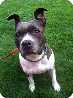 Ridgewood, NY - American Staffordshire Terrier Mix. Meet Dahlia a Dog for Adoption.