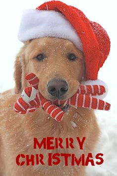 1000 images about christmas and animals pinterest christmas dog christmas puppy and