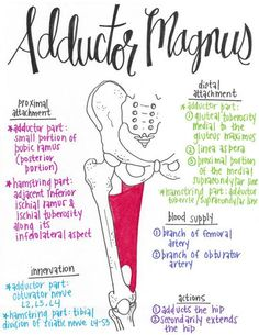 Muscular Anatomy 101 // A Full Set of Drawn Muscles with Attachments, Innervations, Blood Supplies, and Actions! Muscle Anatomy, Body Anatomy, Anatomy Study, Gross Anatomy, Muscular System, Medical Anatomy, Human Anatomy And Physiology, Thigh Muscles, Athletic Training
