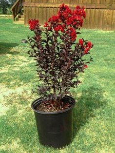 Black Diamond crepe myrtle. Saw one of these in a neighbor's yard and the hunt was ON!  I've got a great spot for one on the west lawn and I figure another will be a great bonsai specimen. Love that foliage!!!