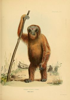 Orangutan / The Zoology of the voyage of H.M.S. Samarang, under the command of Captain Sir Edward Belcher, 1843-1846