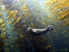 """celtic-forest-faerie: """"{Seal In A Kelp Forest} by {Kyle McBurnie}"""""""