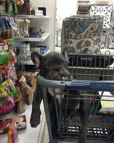 French Bulldog Puppy, Shopping