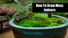 How to grow moss indoors. It's actually pretty simple. Watch this video to learn how to keep your moss alive indoors. #1 rule never let the moss dry out!