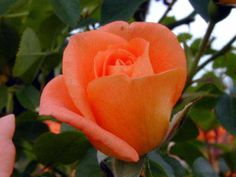 Orange Rose Flower Wallpaper