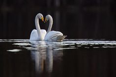 Whooper Swan, the national bird of Finland. (the way their bodies make the shape of a heart always makes me smile} Thinking Day, All Gods Creatures, Wild Nature, Helsinki, Amazing Nature, Nature Photos, Beautiful Creatures, Birds, Ancestry