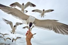 Feeding the seagulls is a favorite pasttime for Isle visitors.  Til...