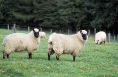 Clun Forest   Size: medium Appearance: dark brown clean face and legs; white fleece Fleece: moderately fine and short Breeding: seasonal Lambing rate: 180 percent Behavior: good foragers; alert; easy lambing Use: flavorful meat; fleece Origin: England Environment: adaptable to wide range of habitats; good on pasture ALBC rating: recovering  Strong mothering instinct, vigorous lambs, narrow heads and wide pelvic structures all contribute to problem-free lambing. The ewes are known for being…