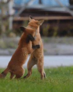Cute Wild Animals, Cute Little Animals, Cute Funny Animals, Animals Beautiful, Animals And Pets, Cute Cats, Fox Animal, Mundo Animal, Cute Funny Babies
