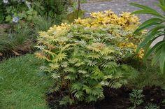Sorbaria sorbifolia 'Sem', False Spirea