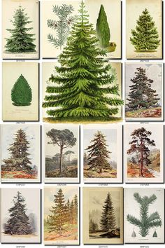 CONIFER-2 Collection of 122 vintage images larch cedar cypress