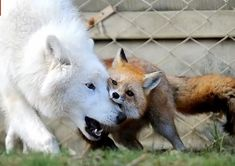 White Wolf : Arctic Wolf and Fox form unusual friendship (PHOTOS)