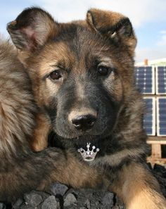 ~ Black Sable German Shepherd Pup ~