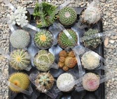 """Assorted cactus in their round plastic 2.5"""" containers. $3 each, we can sell any amount, shipping is based on quantity and your zip. They come labeled w/ name and care instructions and a handy handle for carrying! TheSucculentSource"""