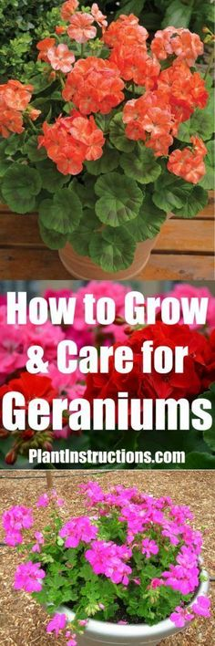 How to Grow Geraniums | Plant Instructions