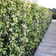 Sterjasmijn/Toscaanse jasmijn haag 1 meter (groenblijvend) - Clematis Online, Goedkoopste in Klimplanten & Planten