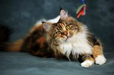 Maine coon Origani Perfect Cat * UA Photos http://www.mainecoonguide.com/what-is-the-average-maine-coon-lifespan/
