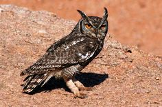 Richtersveld - Spotted Eagle Owl