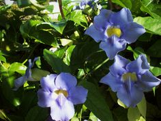 Blue Sky Flower Vine - Be sure to visit GardenAnswers.com and download the free plant idenfication mobile app.