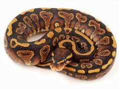 Nova Yellow Belly Ball Python