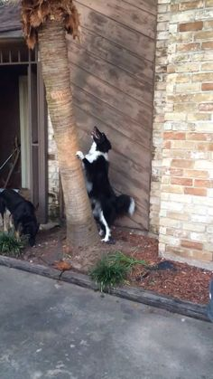 Heyzeus after the Phantom Squirrel. Border Collies are the best.