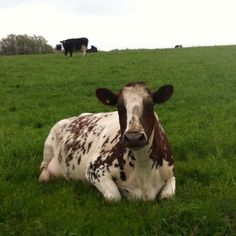 a #cow #hike #walk #derbyshire #chesterfield