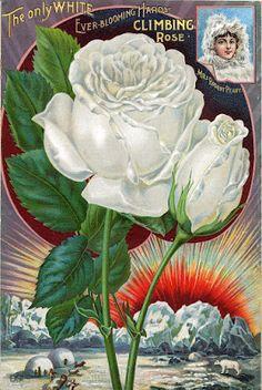 Antique Vintage Roses Poster_1 | Blisse Design Studio