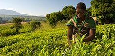 Learn more about the farmers and workers who grow Fairtrade tea Fair Trade, Farmers, Foundation, Tea, Outdoor, Outdoors, Fair Trade Fashion, Farmer, The Great Outdoors