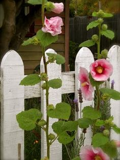 holly hocks and a white picket fence