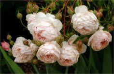 пионовидные розы дэвид остин - Поиск в Google