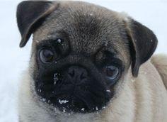 Pug Wallpaper, Screensaver, Background. Cute Pug Puppy