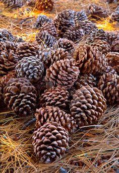 Earth tones...(brown and beige)--Pinecones by doctorserafini, via Flickr