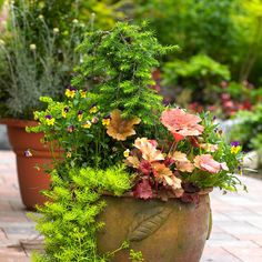 """In early spring, long before the garden bursts into color, Brian pots up containers that bridge the seasons with bright foliage and subtle textures. He starts with a weeping hemlock, then adds a euphorbia or two. Next comes a sampling of Heuchera 'Marmalade' followed by a streak of Sedum 'Angelina'. """"With foliage like this, who needs flowers?"""" he says. He does tuck in a few violas -- but mostly for his chefs to toss into springtime salads."""