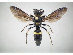 Don't kill these wasps! Ground wasp Cerceris fumipennis nests in the ground (sometimes in baseball diamonds!), doesn't sting humans, and is the best predator of the emerald ash borer, which threatens our forests.