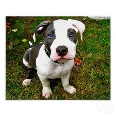 How could ya not love pitbulls.....look at that face